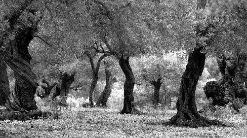Olive trees in Son Marroig (Serra de Tramuntana - Mallorca)